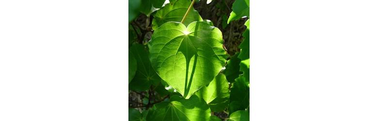 Asti Renaut : Naturopath & Medical Herbalist